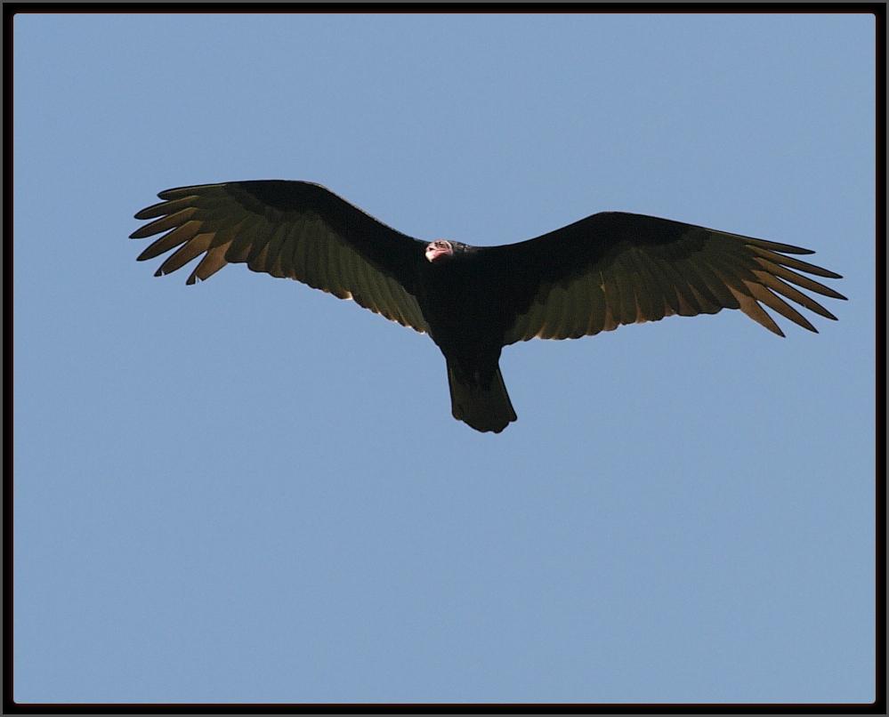 urubu-de-cabeça-vermelha Turkey Vulture ( Cathartidae : Cathartes ...