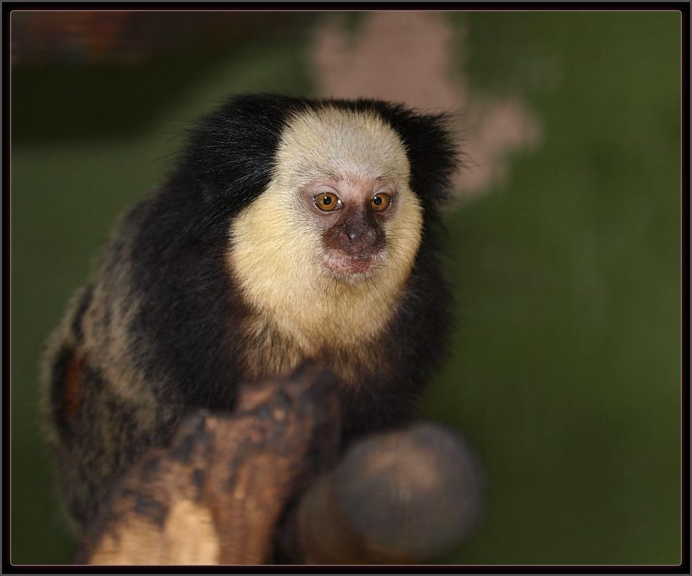 sagui-da-cara-branca (Callithrix geoffroyi)