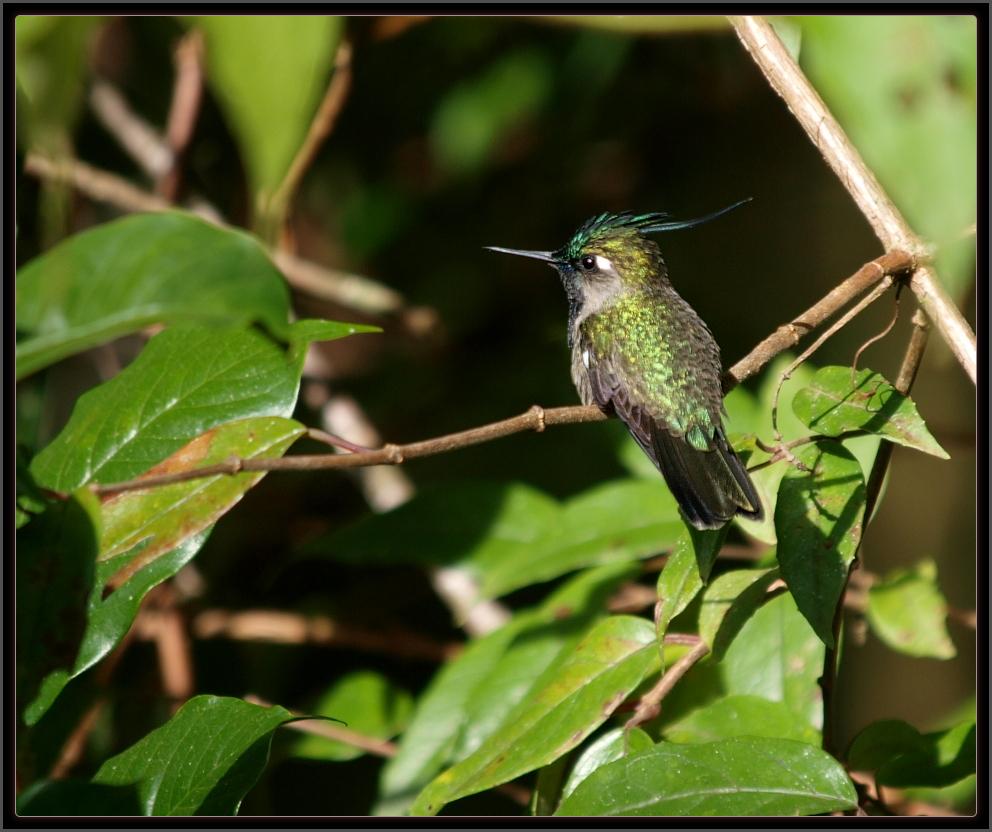 Luis A. Florit Photo Gallery: beija-flor-de-topete-verde ...