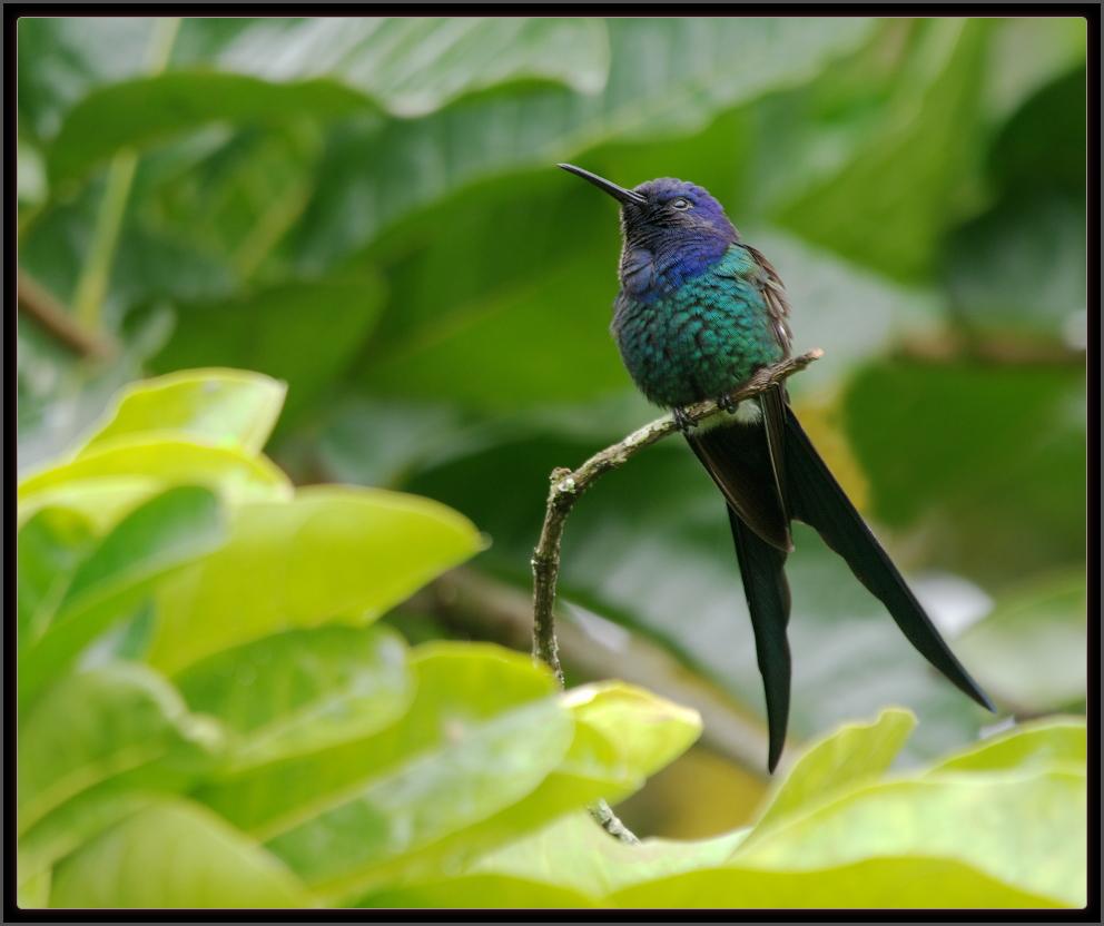 luis a florit photo gallery beija flor tesoura swallow tailed hummingbird trochilidae. Black Bedroom Furniture Sets. Home Design Ideas